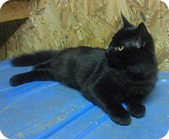 Domestic Longhair Cat for adoption in Acworth, Georgia - Justice