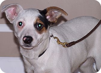 Australian Cattle Dog/Terrier (Unknown Type, Medium) Mix Puppy for adoption in Milford, New Jersey - Patrick