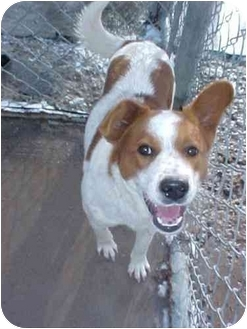 Australian Cattle Dog/Blue Heeler Mix Dog for adoption in Cambridge, Ohio - Chuckie