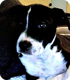 Pit Bull Terrier Mix Puppy for adoption in Sunnyvale, California - Cooper