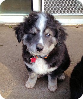 Border Collie Mix Puppy for adoption in Corning, California - SHILOH