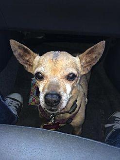 Chihuahua/Chihuahua Mix Dog for adoption in North Hollywood, California - CJ