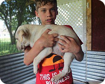 Labrador Retriever/Australian Shepherd Mix Puppy for adoption in Harmony, Glocester, Rhode Island - Kermit