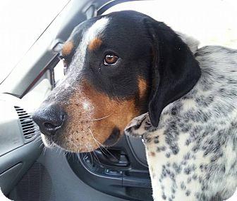 Bluetick Coonhound Mix Dog for adoption in Fountain Inn, South Carolina - Cesar