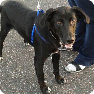 Labrador Retriever/Border Collie Mix Dog for adoption in Minneapolis, Minnesota - Woof