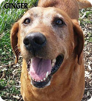 Labrador Retriever Mix Dog for adoption in Lapeer, Michigan - GINGER--SWEETIE PIE LAB!