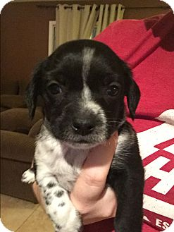 Terrier (Unknown Type, Small)/Cattle Dog Mix Puppy for adoption in Henderson, Nevada - Harlow