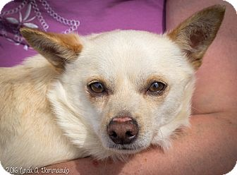 Chihuahua Mix Dog for adoption in Loudonville, New York - Alec