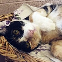 Domestic Shorthair Cat for adoption in Phoenix, Arizona - Arista