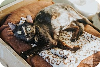 Domestic Shorthair Cat for adoption in Indianapolis, Indiana - Davis