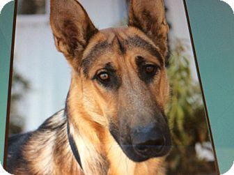 German Shepherd Dog Puppy for adoption in Los Angeles, California - ANDY VON AUGSBURG