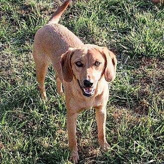 Beagle/Labrador Retriever Mix Dog for adoption in Russellville, Kentucky - Butterscotch