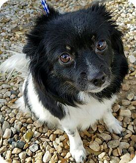 Pomeranian Mix Dog for adoption in San Dimas, California - Shelly