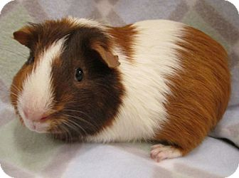 Guinea Pig for adoption in Highland, Indiana - Mocha
