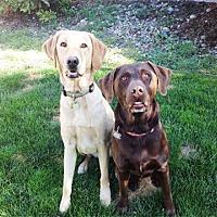 Labrador Retriever Dog for adoption in Palos Verdes Peninsula, California - Abi and Levi