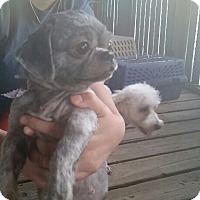 Adopt A Pet :: Gretta - springtown, TX