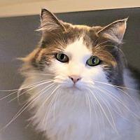 Adopt A Pet :: Miss Kitty - Lincoln, NE