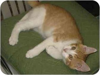 Domestic Shorthair Kitten for adoption in Bloomsburg, Pennsylvania - Clark