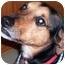 Photo 1 - Beagle/German Shepherd Dog Mix Dog for adoption in Marseilles, Illinois - ShiverMeTimbers