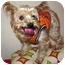 Photo 1 - Yorkie, Yorkshire Terrier Mix Dog for adoption in Dunedin, Florida - Raleigh