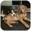 Photo 1 - Beagle Mix Puppy for adoption in tucson, Arizona - Rocket