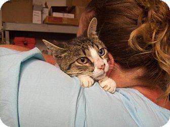American Shorthair Cat for adoption in Walnut, Iowa - Mr. Bill