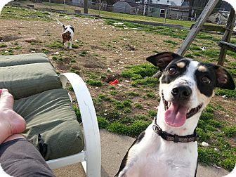 Miniature Pinscher/Rat Terrier Mix Dog for adoption in Richmond, Virginia - Annie