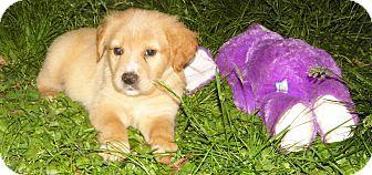 Labrador Retriever Mix Puppy for adoption in Bel Air, Maryland - Baron