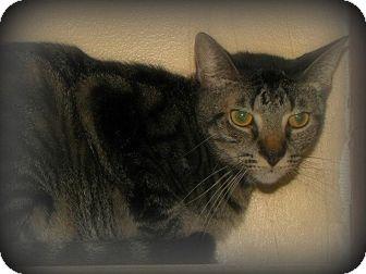 American Shorthair Cat for adoption in Arkadelphia, Arkansas - Tarzan