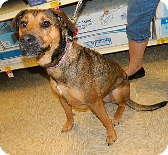 German Shepherd Dog/Doberman Pinscher Mix Dog for adoption in Umatilla, Florida - Sandy
