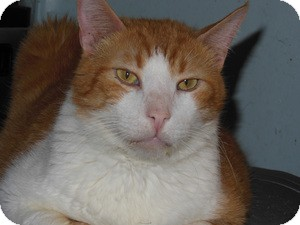 Domestic Shorthair Cat for adoption in Mission Viejo, California - Herbie