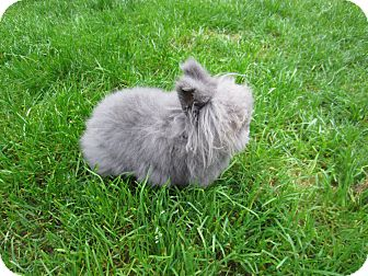 Lionhead for adoption in Seattle c/o Kingston 98346/ Washington State, Washington - Ashley