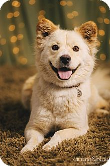 Samoyed/Golden Retriever Mix Dog for adoption in Portland, Oregon - Moet