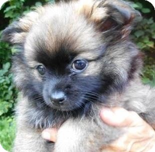 Pomeranian/Lhasa Apso Mix Puppy for adoption in Bartonsville, Pennsylvania - Pixie