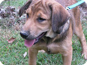 Labrador Retriever Mix Puppy for adoption in Hartford, Connecticut - Bond