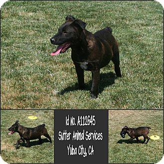 German Shepherd Dog Mix Puppy for adoption in Yuba City, California - 07/30 Unnamed