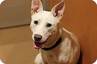 Shepherd (Unknown Type) Mix Puppy for adoption in Chicago, Illinois - Bisquick
