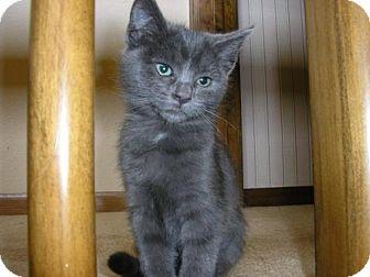 Domestic Shorthair Kitten for adoption in Salem, Oregon - Patti