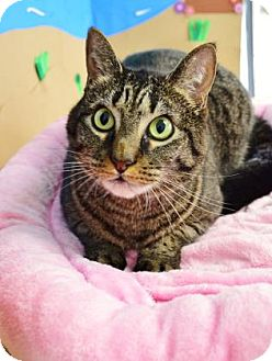 Domestic Shorthair Cat for adoption in Bradenton, Florida - Zoey