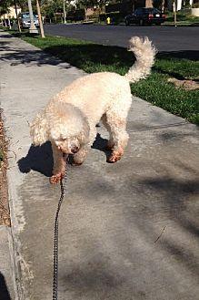 Bichon Frise/Poodle (Miniature) Mix Dog for adoption in Rancho Santa Margarita, California - zzz - Teddy*courtesy post*