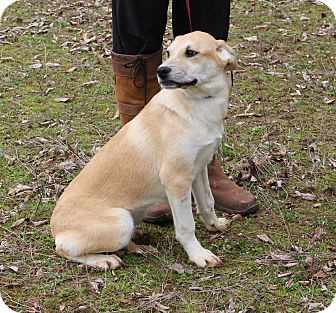 Labrador Retriever Mix Puppy for adoption in Stamford, Connecticut - GIA - fostered in Connecticut