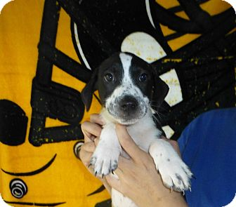 English Springer Spaniel/German Shorthaired Pointer Mix Puppy for adoption in Oviedo, Florida - Bronze