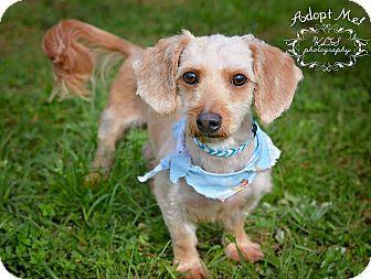 Dachshund/Terrier (Unknown Type, Medium) Mix Dog for adoption in Fort Valley, Georgia - Charlie