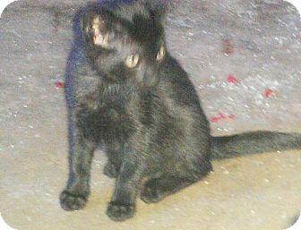 American Shorthair Kitten for adoption in Texarkana, Arkansas - Ziva