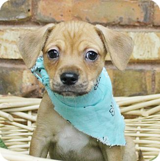 Chihuahua/Beagle Mix Puppy for adoption in Benbrook, Texas - Johnny