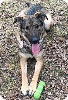 German Shepherd Dog/Golden Retriever Mix Dog for adoption in St. Paul, Minnesota - Bella1