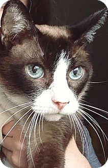 Snowshoe Cat for adoption in Knoxville, Tennessee - Edgar