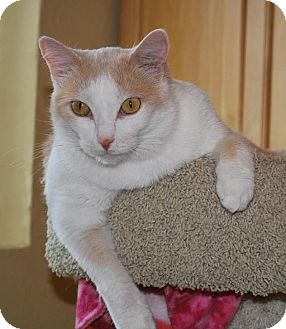 Domestic Shorthair Cat for adoption in Prescott, Arizona - Charlie