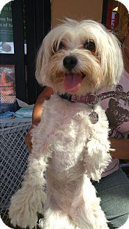 Maltese/Poodle (Miniature) Mix Dog for adoption in LAKEWOOD, California - Diamond