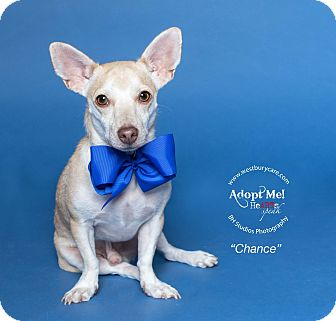 Chihuahua/Dachshund Mix Dog for adoption in Houston, Texas - Chance